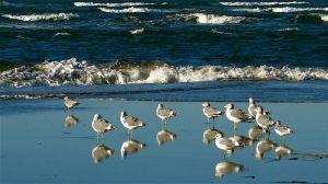 oceangulls